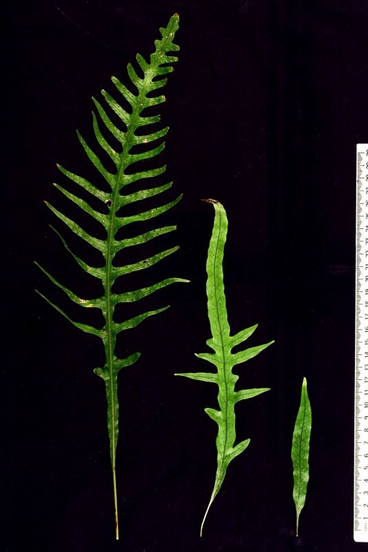 Transition from juvenile (right) to adult (left) fronds