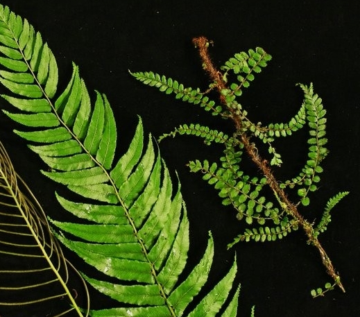Fertile frond (left), sterile frond (middle) and juvenile frond (right)