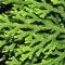 lycopodiella