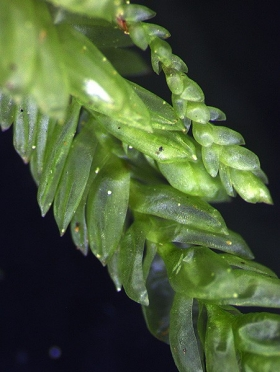 Name of common moss