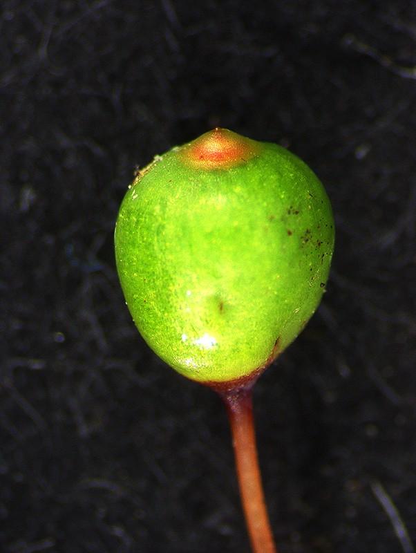 Immature capsule with operculum lid