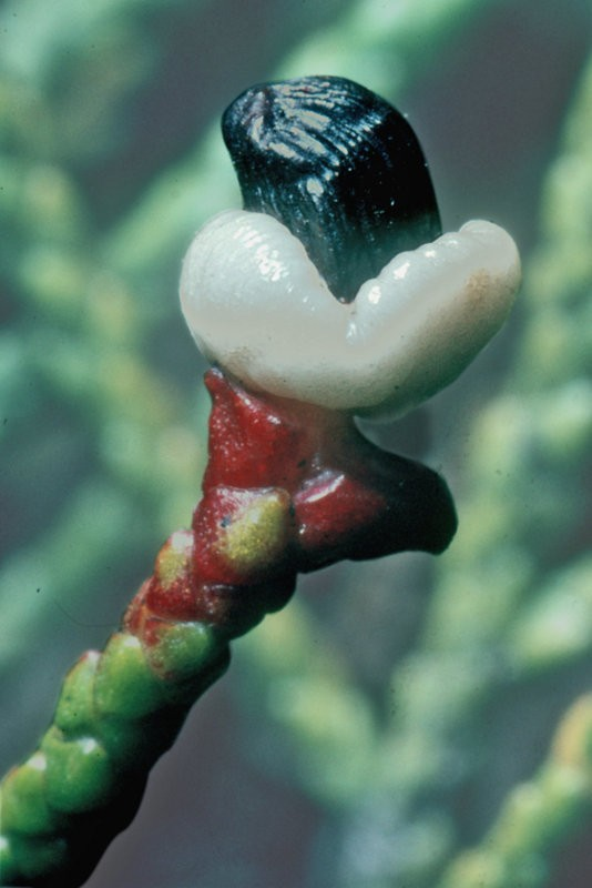 Mature seed cone with fleshy aril
